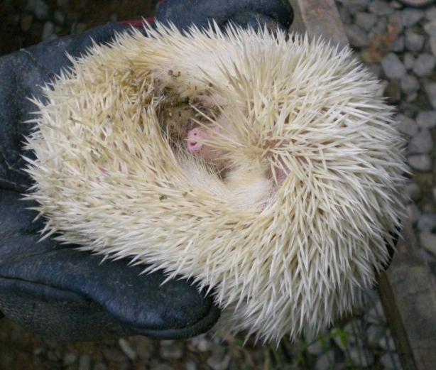 hedgehog-curl