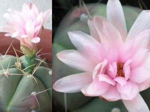 cactus comp1